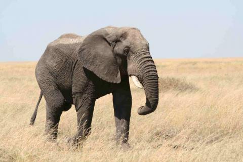 Elefantote